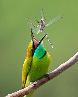crw_2049-green-bee-eater