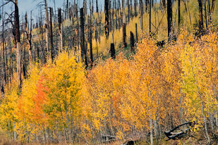 Fall Colors in North Rim, Grand Canyon. by Asis Kumar Sanyal, Photography, Digital Print on Paper, Purple color