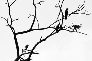 Cacophony by Crows by Subhajit Dutta, Photography, Digital Print on Paper, Gray color
