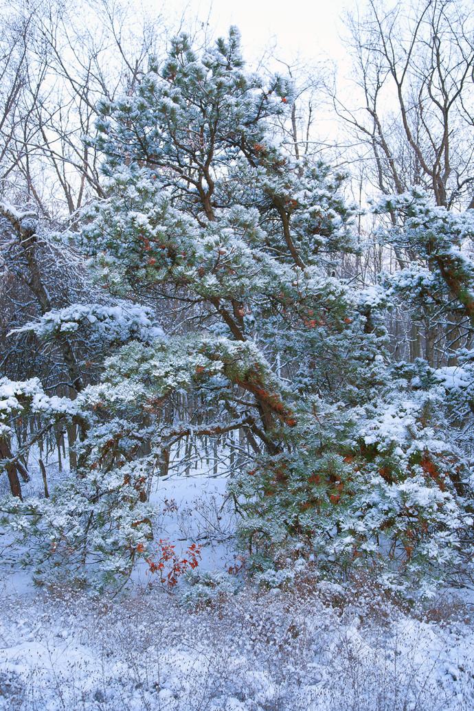 First Snow By Asis Kumar Sanyal