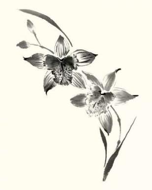 Studies in Ink - Cymbidium Digital Print by Rae, Nan,Illustration