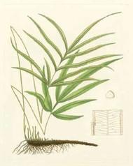 Eaton Ferns I Digital Print by Eaton,Realism