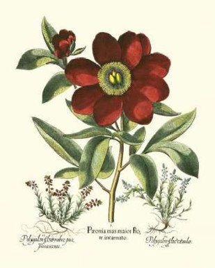 Red Besler Peonie I Digital Print by Besler, Basilius,Decorative