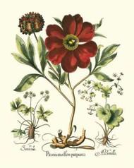 Red Besler Peonie II Digital Print by Besler, Basilius,Decorative