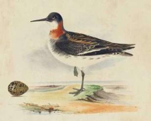 Meyer Shorebirds II Digital Print by Meyer, H.L.,Decorative