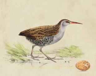 Meyer Shorebirds III Digital Print by Meyer, H.L.,Decorative