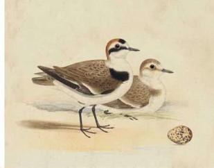 Meyer Shorebirds V Digital Print by Meyer, H.L.,Decorative