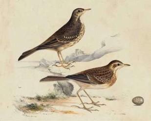 Meyer Shorebirds VI Digital Print by Meyer, H.L.,Decorative