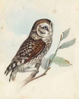 Meyer Little Owl Digital Print by Meyer, H.L.,Decorative
