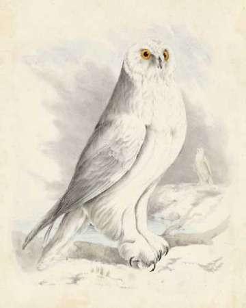 Meyer Snowy Owl Digital Print by Meyer, H.L.,Decorative