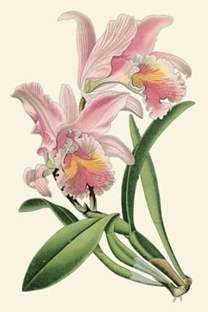 Delicate Orchid III Digital Print by Vision Studio,Decorative