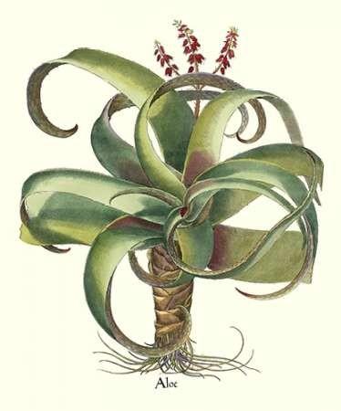 Besler Aloe Digital Print by Besler, Basilius,Decorative
