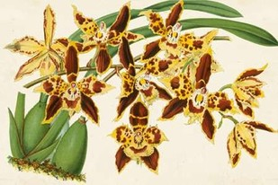 Graceful Orchids I Digital Print by Stroobant,Decorative
