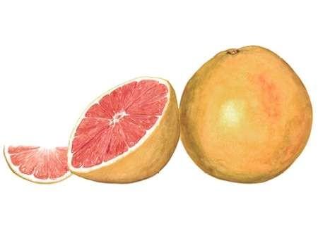 Watercolor Grapefruit Digital Print by Willett, Michael,Realism