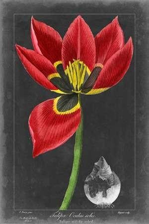 Midnight Tulip II Digital Print by Vision Studio,Decorative