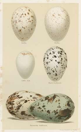 Antique Bird Egg Study II Digital Print by Seehohm, Henry,Realism