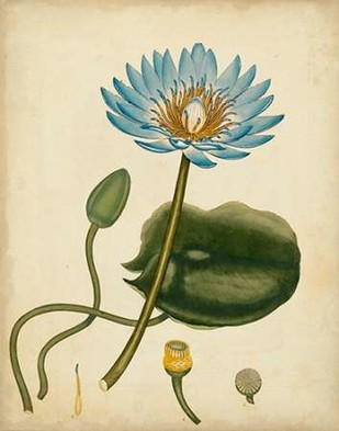 Blue Water Lily Digital Print by Andrews, Henry,Decorative