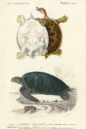 Antique Turtle Duo I Digital Print by Oudart,Realism