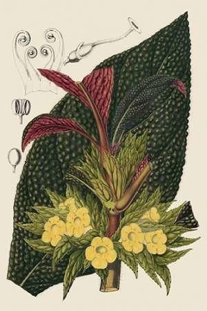 Begonia Varieties II Digital Print by Stroobant,Decorative