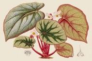 Begonia Varieties IV Digital Print by Stroobant,Decorative