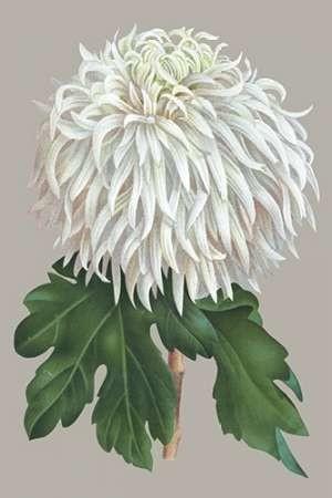 Chrysanthemum on Gray II Digital Print by Vision Studio,Decorative