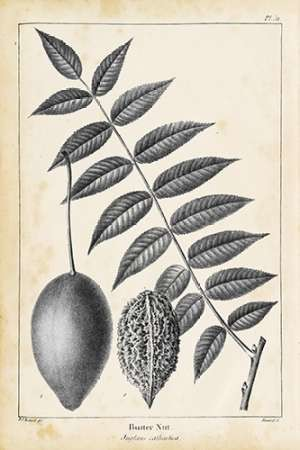 Vintage Butternut Tree Digital Print by Nuttall, Thomas,Illustration