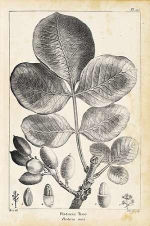 Vintage Pistachio Tree Digital Print by Nuttall, Thomas,Illustration