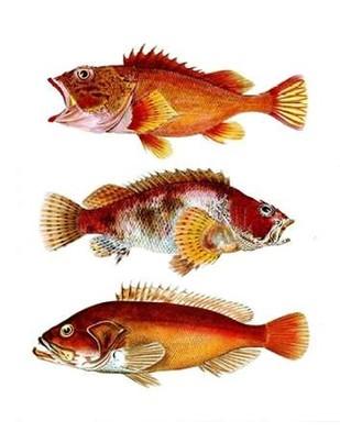 Orange Fish Trio Digital Print by Fab Funky,Decorative