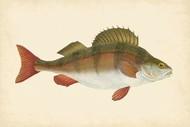 Donovan Antique Fish I Digital Print by Donovan,Decorative