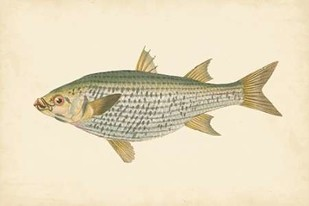Donovan Antique Fish IV Digital Print by Donovan,Decorative