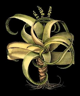 Custom Dramatic Aloe I (LG) Digital Print by Besler, Basilius,Decorative