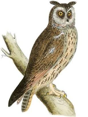 Morris Long Eared Owl Digital Print by Morris,Decorative
