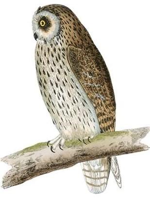 Morris Short Eared Owl Digital Print by Morris,Decorative