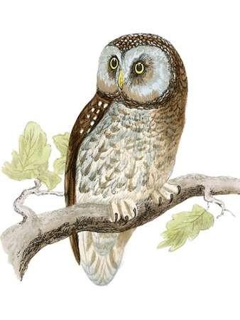 Morris Tengmalm's Owl Digital Print by Morris,Realism