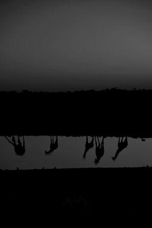 Giraffes, Self-Reflection Edition by Himraj Soin, Image Photography, Digital Print on Enhanced Matt, Gray color