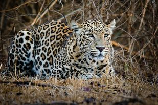 Tough Looks... by Ravindra Kumar Tanwar, Image Photography, Digital Print on Paper, Brown color
