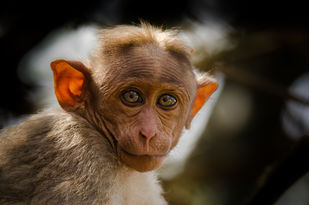 Curious looks by Ravindra Kumar Tanwar, Image Photography, Digital Print on Archival Paper, Brown color
