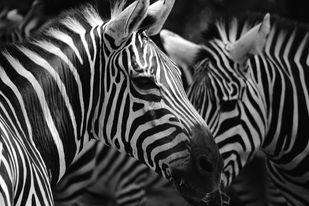Zebras by Ranjith Mehenderkar, Image Photography, Digital Print on Flex, Gray color