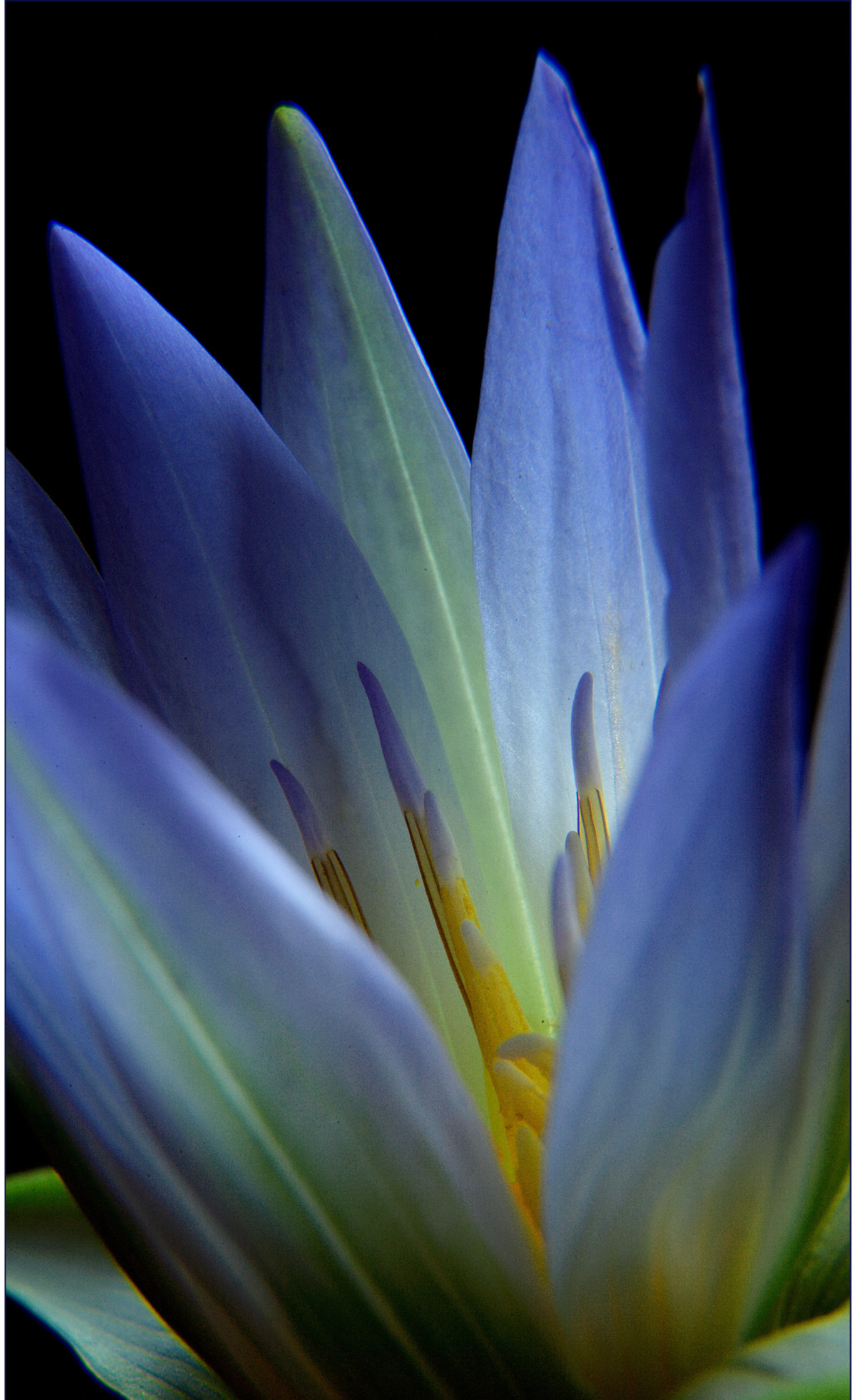 Lotus by Saify Akolawala, Image Photography, Digital Print on Archival Paper, Blue color