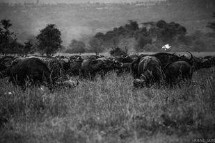 Maasai Mara by Ranu Jain, Image Photography, Digital Print on Paper, Gray color