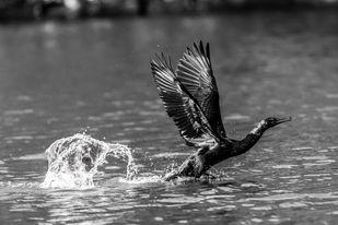 Indian Cormorant Taking-off from the River by Vishnuprasad R Jahagirdar, Image Photography, Inkjet Print on Archival Paper, Gray color