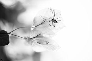 Communion of Creatures - Spider on Bougainvillea by Vishnuprasad R Jahagirdar, Impressionism Photography, Inkjet Print on Archival Paper, Gray color