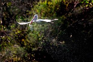 Spot-billed Pelican Flying High with Grace by Vishnuprasad R Jahagirdar, Image Photography, Print on Canvas, Black color