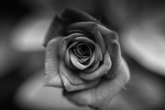 Black and White blurry rose by Tiby Cherian, Image Photography, Digital Print on Canvas, Gray color
