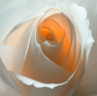 Rose by Saify Akolawala, Image Photography, Digital Print on Archival Paper, Brown color