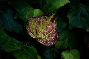 Autumn, and the silent transformation of the Ivy by Ranu Jain, Image Photography, Print on Paper,