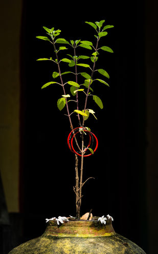 Tulsi- holy Basil by SRIJAN NANDAN, Image Photography, Digital Print on Archival Paper,