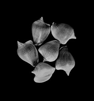 Seashells No. 13 by M. Shafiq, Image Photography, Digital Print on Archival Paper, Black color