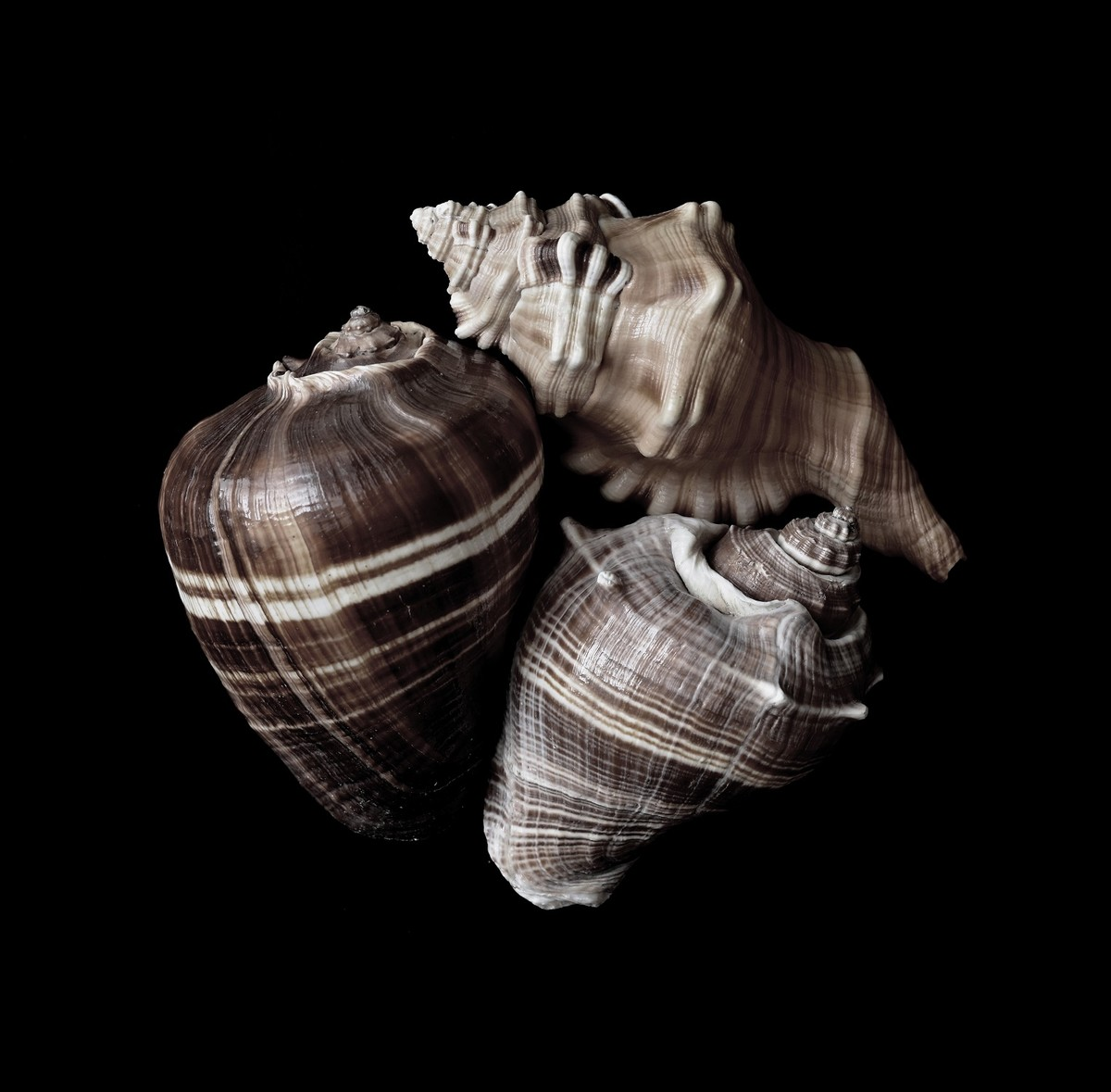 Seashells No. 5 by M. Shafiq, Image Photography, Digital Print on Archival Paper, Licorice color
