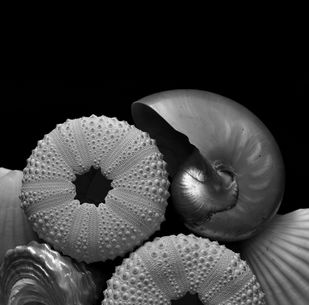 Seashells No. 24 by M. Shafiq, Image Photography, Digital Print on Archival Paper, Cod Gray color